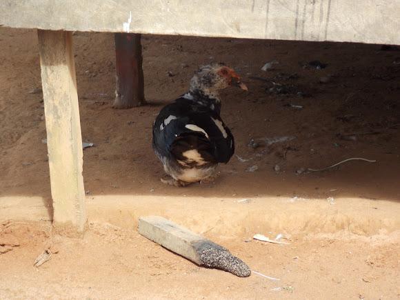 Muscovy Duck   Project Noah
