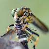 Common Yellow Robber Fly