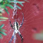 Garden spider or writing spider