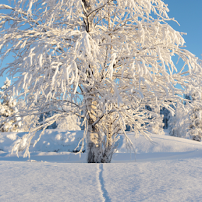 Tracks in snow by Elisabeth Johansson - Nature Up Close Trees & Bushes ( sweden, winter, boden, tree, january, snow, day, tracks, sun )