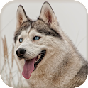 Siberian Husky Wallpapers icon