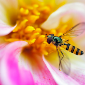 Hoverfly, sometimes called the flower fly or syrphid fly by Peter Greenhalgh - Animals Insects & Spiders ( hoverfly, fly, syrphid fly, flower fly, insect )