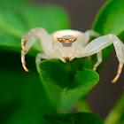 White Crab Spider female