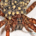 Wolf Spider with babies