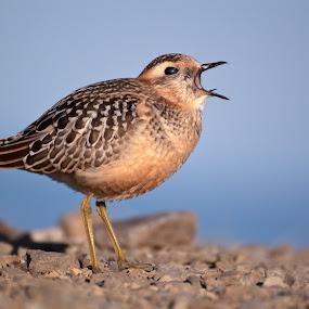 Charadrius morinellus - Dotterel by Ricky Papex - Animals Birds ( tuscany, dotterel, arezzo, pratomagno, italy, charadrius morinellus,  )