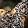 Black Pearl Slime Mold