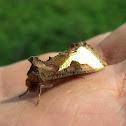 Golden Plusia