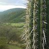 Cactus, Quisco