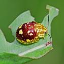 Spotted Paropsine Beetle - Paropsis maculata