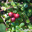 Low-bush Cranberry
