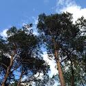 Scots Pine / Grove den / Waldkiefer