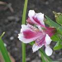 Peruvian Lily or Alstromeria