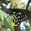 Cairns Birdwing Butterfly (Male)