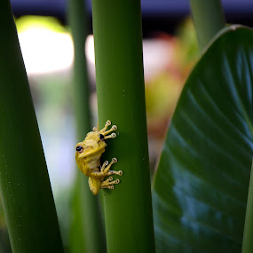 Ready to Jump by Emily Stillings - Animals Amphibians ( plant, e.j.stillings photography, frog, green, amphibian, toes, yellow, ready, jump, e.j.stillings, sticky, tree, aim, florida, emily stillings, stalk, orlando, small,  )
