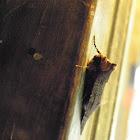 prominant moth