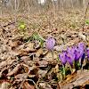 Spring Crocus/Pomladanski žafran