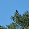 Gavião-carijó (Roadside Hawk)