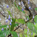 Southern Harebell