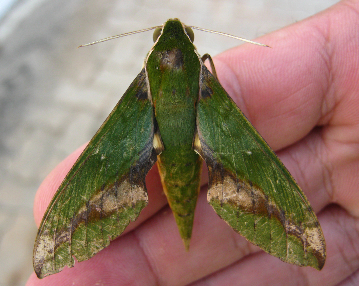 Xylophanes chiron