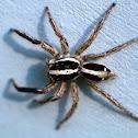 Jumpind Spider (Salticidae)