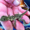 Baby Australian Water Dragon