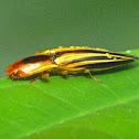 Parasitized semiotus click beetle