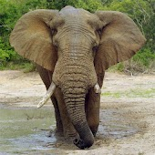 Elephant Gallery HD