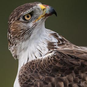 Bonellis Eagle by Howard Kearley - Animals Birds
