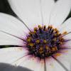 cape daisy; margarita del cabo