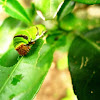 Common Lime Butterfly Larva
