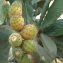 Indian fig/Cactusvijg