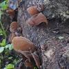Jelly ear fungus