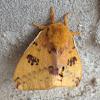 Io Moth - male