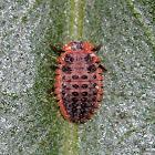 Vedalia Beetle Larvae