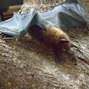 Common Island Flying fox