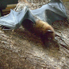 Common Island Flying fox