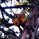 Eastern Fox Squirrels