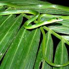 Satiny Parrot Snake