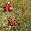 Northern Pitcher Plant