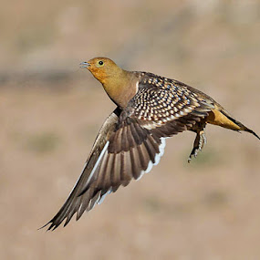 Sandgrouse by Jan Fourie - Animals Birds