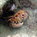 Seven-Eleven Crab