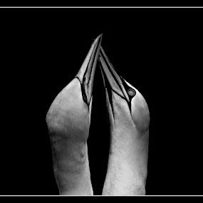 forever by David Walker - Black & White Animals ( gannet saffi9 )