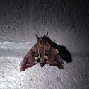 Small eyed sphinx moth