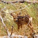 Mule deer (fawn)