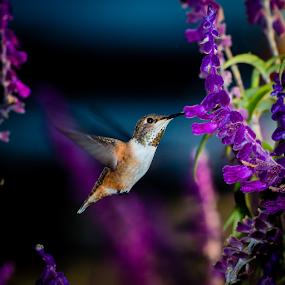 Allen's Hummingbird by Ken Wade - Animals Birds ( purple, hummingbird, salvia, allen's hummingbird, selasphorus sasin, bird in flight,  )