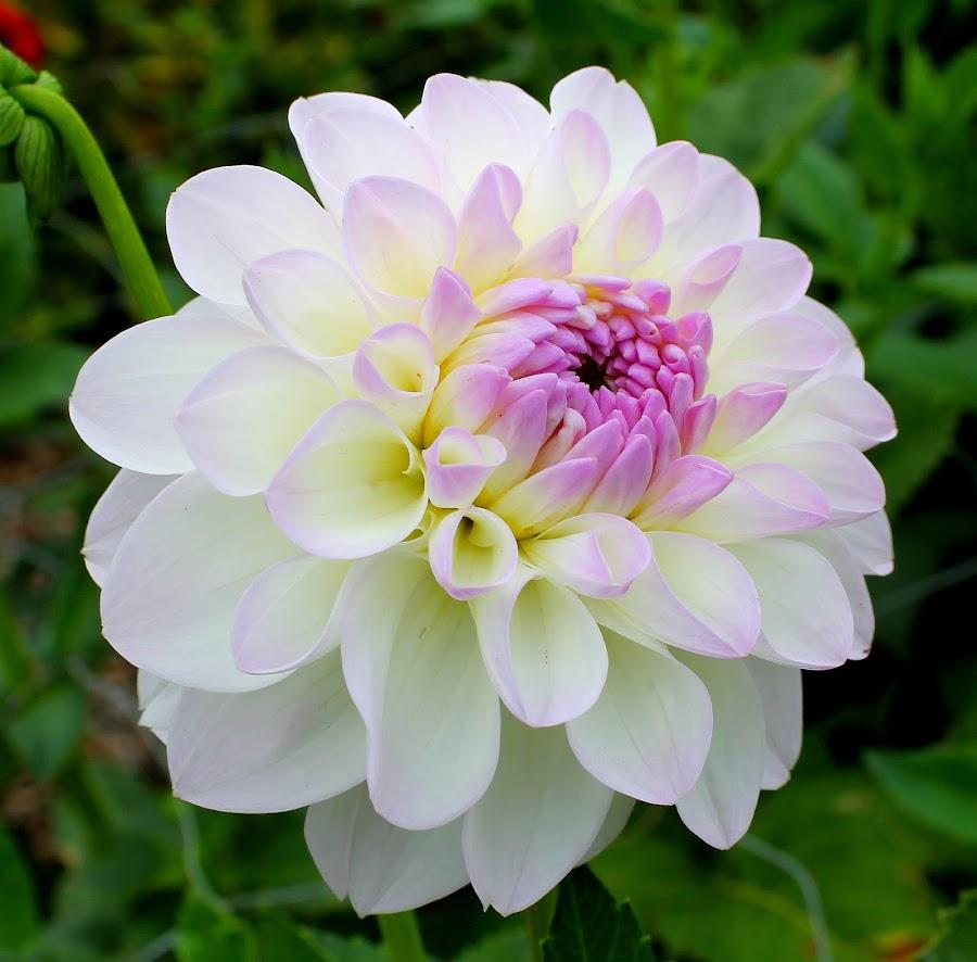 Dahlia by Birgit Tosuni - Flowers Single Flower ( dahlia, flower )