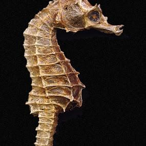 Seahorse by Raymond Paul - Animals Sea Creatures ( shell, macro, sealife, micro, seahorse,  )