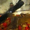 aqua toad