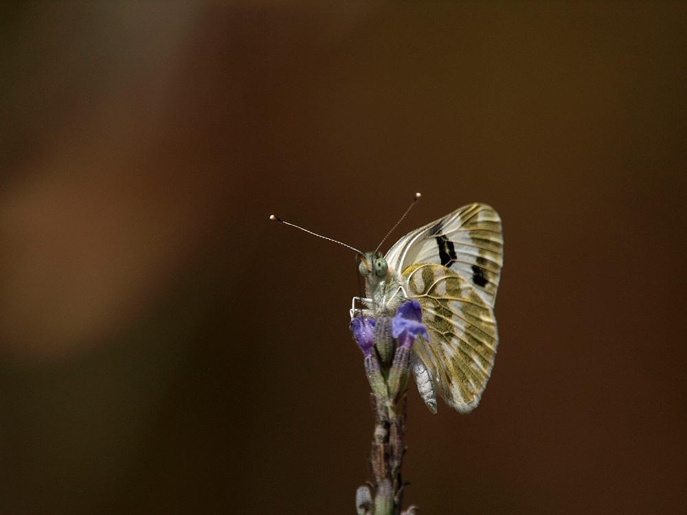 Mariposa (Bath White)