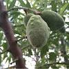 Almond Tree (Amygdalus dulcis)
